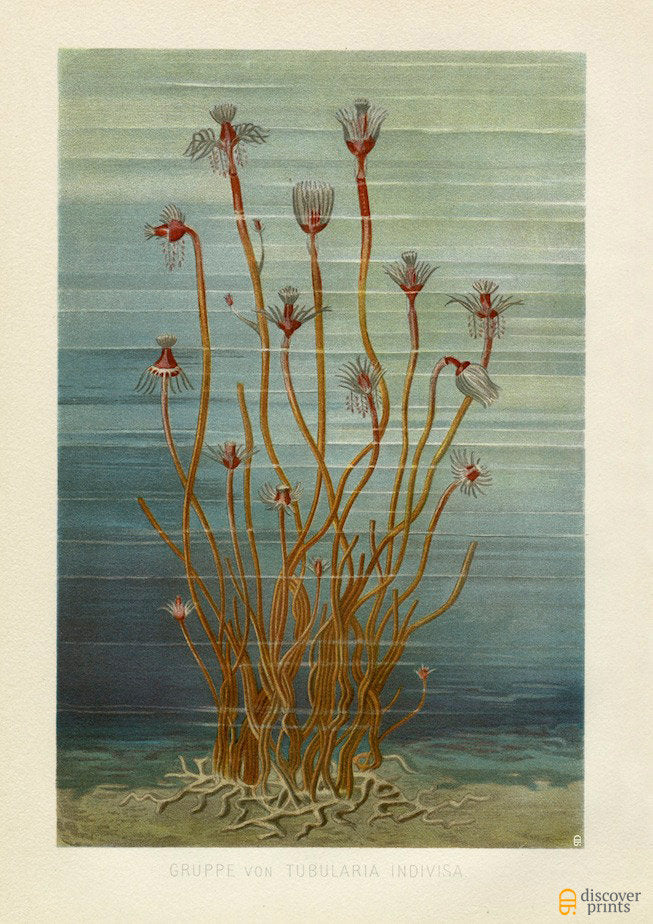 Tubularia Marine Art Print - Sea Botanicals Illustration - Antique Style Wall Art - Museum Quality