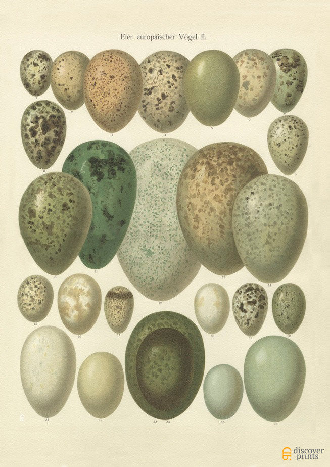 European Songbird Eggs Art Print - Peaceful Vintage Animal Illustration - Museum Quality