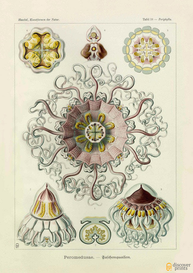 Vintage print of pink and yellow jellyfish by Ernst Haeckel, Peromedusae, lithograph plate 38 from Artforms of Nature