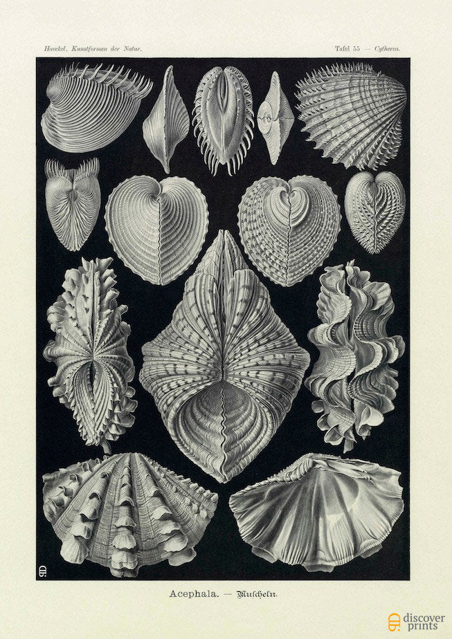 Ernst Haeckel Clams (Acephala) Plate 55 Art Print - Antique Wall Art - Museum Quality