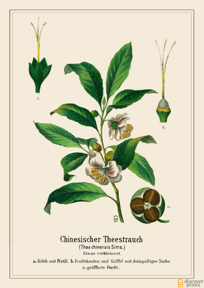 Vintage Tea Plant Art Print - Botanical Illustration - Kitchen Wedding Gift - Museum Quality