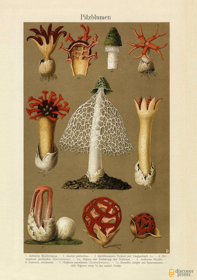 Brazilian Mushroom Art Print - Mycology Illustration - Food Chef Gardener Art - Museum Quality