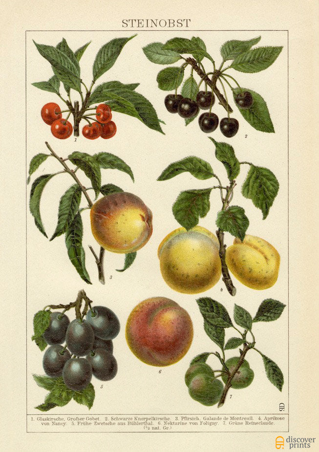 Stone Fruits Art Print - Fruit Wall Art - Kitchen Art Print - Museum Quality