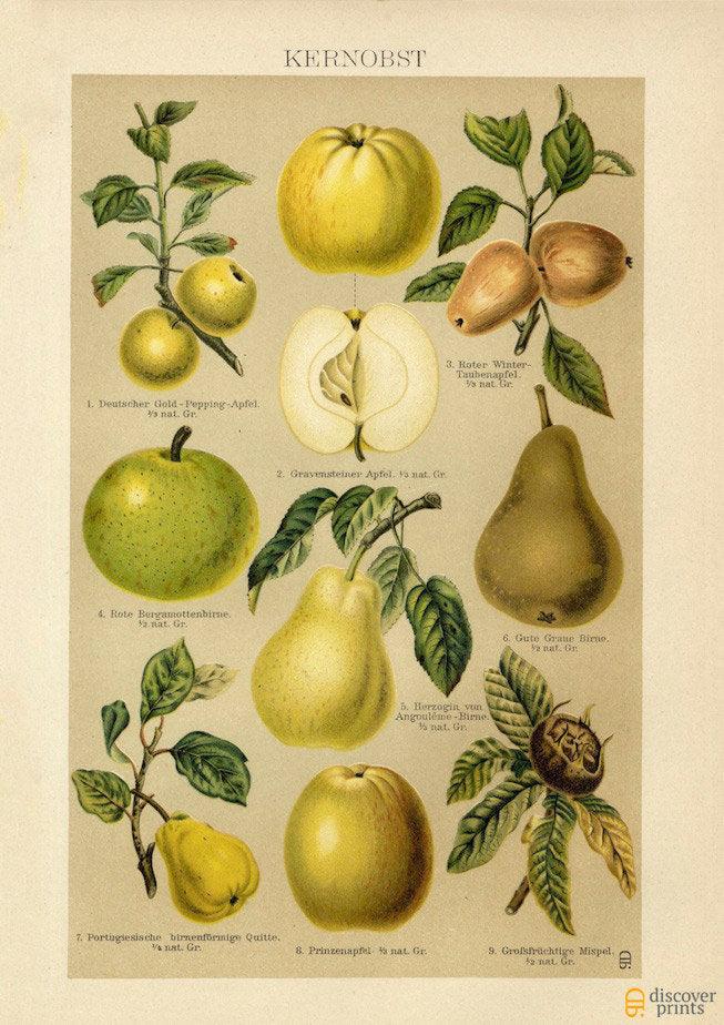 Orchard Fruit Art Print - Fruit Botanical Illustration  - Antique Style Wall Art - Museum Quality
