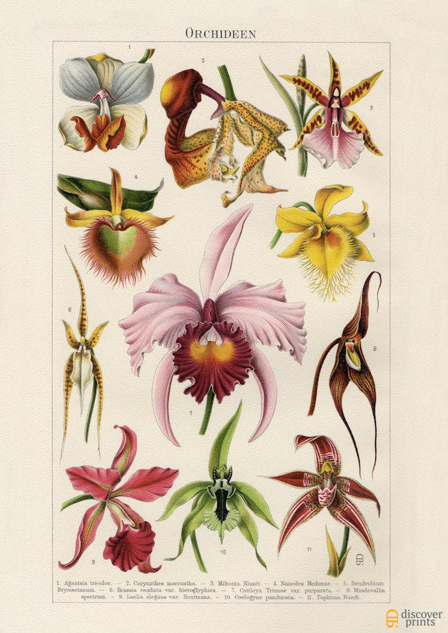 Wild Orchids Art Print - Botanical Illustration  - Antique Style Wall Art - Museum Quality