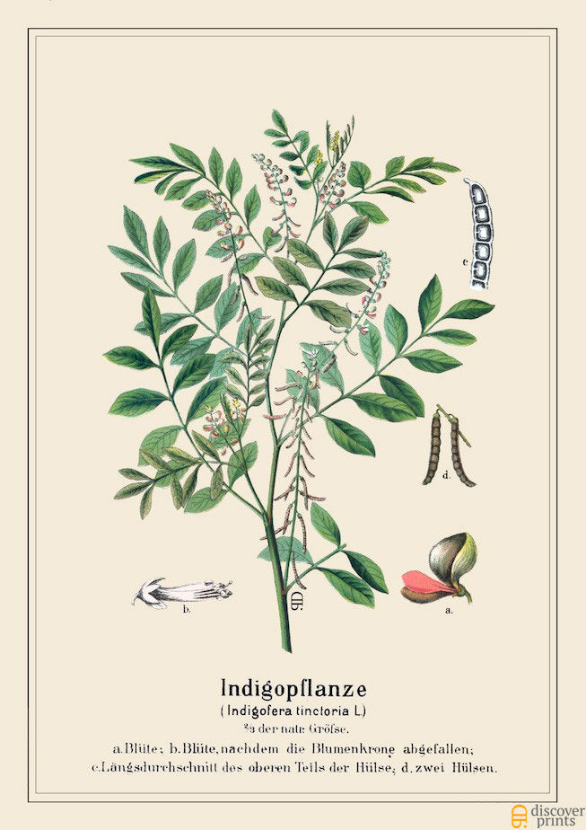 Beautiful Indigo Dye Plant Art Print - Botanical Illustration - Antique Style Wall Art - Museum Quality