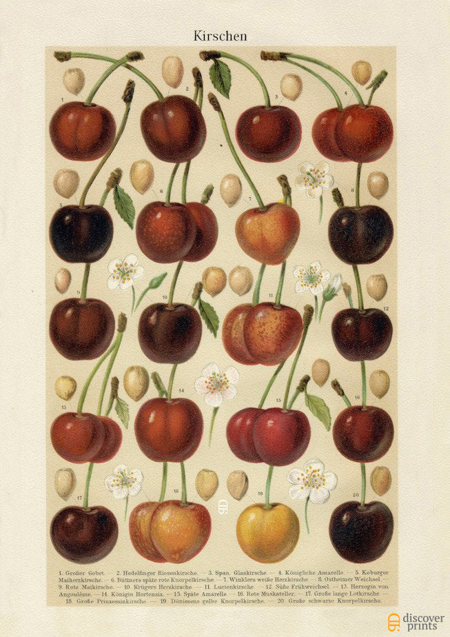 Cherry Art Print - Fruit Botanical Illustration  - Antique Style Wall Art - Museum Quality