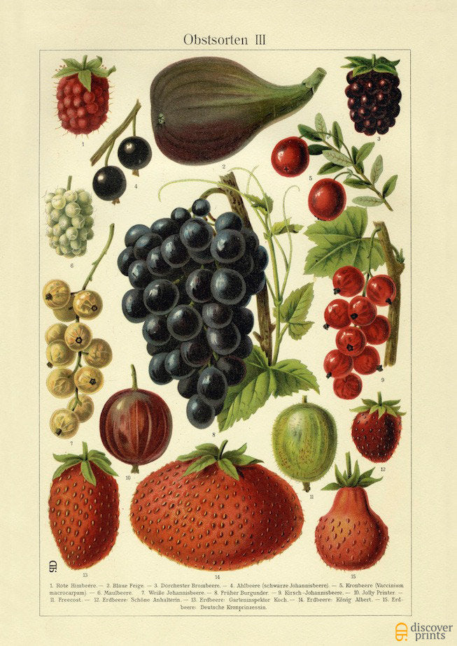 Sweet Berries Art Print - Botanical Illustration  - Antique Style Wall Art - Museum Quality
