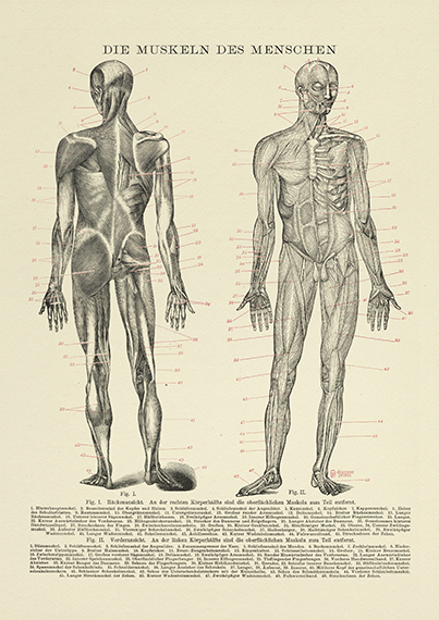 Human Muscle Medical Art Print