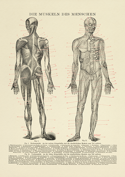 Human Muscle Medical Print - Vintage Style Medical Science Illustration - Medical Wall Art - Museum Quality Anatomy Science Poster