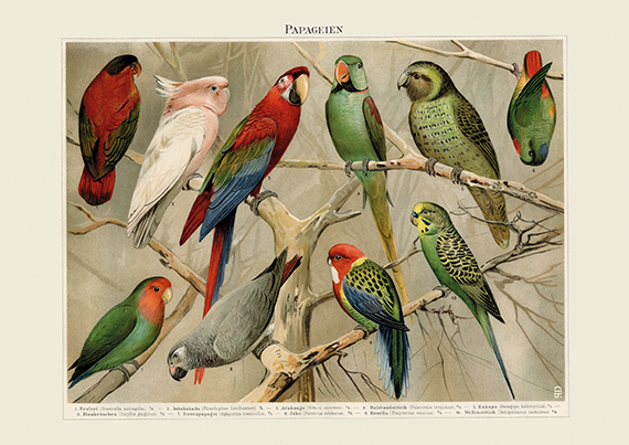 Tropical Parrot & Parakeet Art Print - Vintage Bird Illustration - Science Wall Art - Museum Quality
