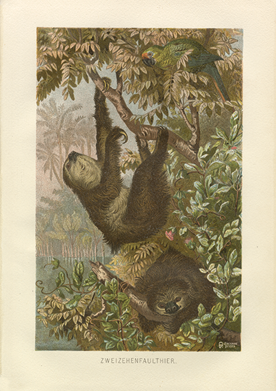 Sloth Fine Art Print - Sloth Animal Poster - Vintage Botanical Jungle and Parrot Reproduction c.1890 - Just Relax Wall Art - Museum Quality