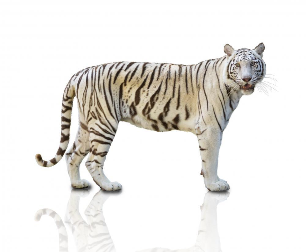 Prowling White Tiger Animal Wall Sticker