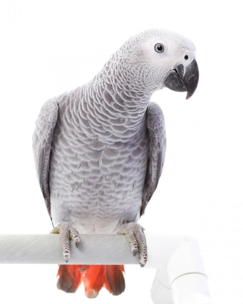 African Grey Parrot Animal Wall Mural - Animal-Wall-Stickers - Decall.ca