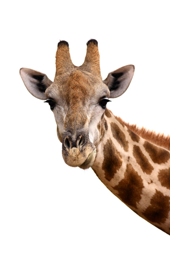 Giraffe Portrait Animal Wall Sticker