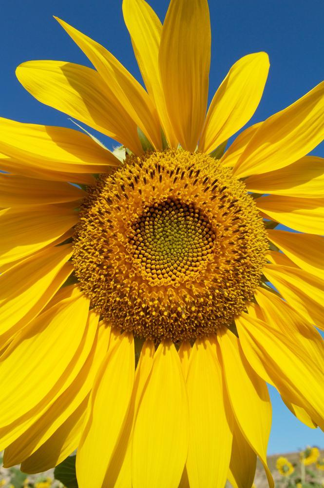 Close-up Sunflower Helianthus Petiolaris Flower Wall Mural - Flower-Wall-Murals - Decall.ca