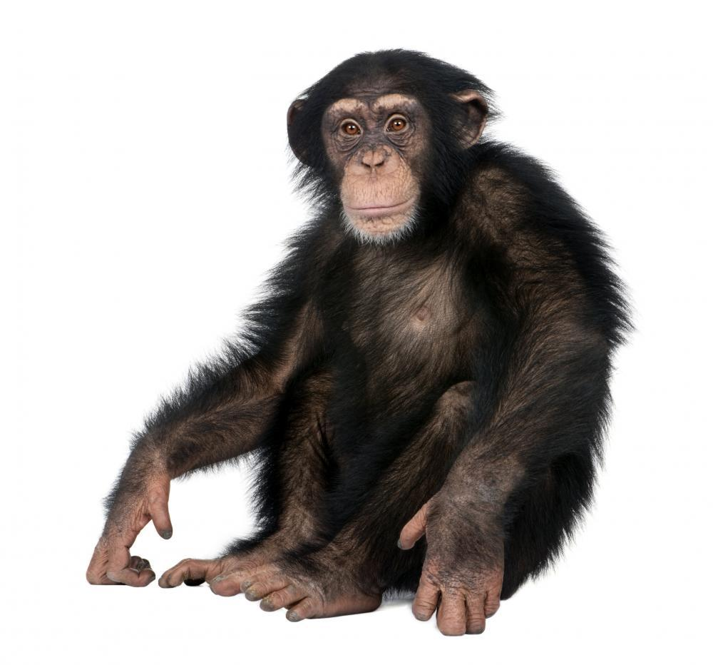 Young Chimpanzee Animal Wall Sticker