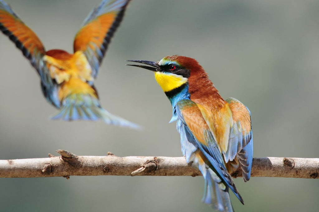 Bee-eater Merops Apiaster Israel Animal Wall Mural - Animal-Wall-Murals - Decall.ca