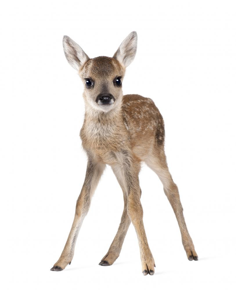 Roe Deer Fawn Animal Wall Sticker