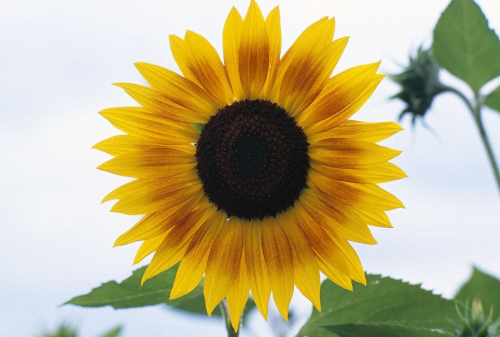 Close-up Blooming Sunflower Flower Wall Mural - Flower-Wall-Murals - Decall.ca