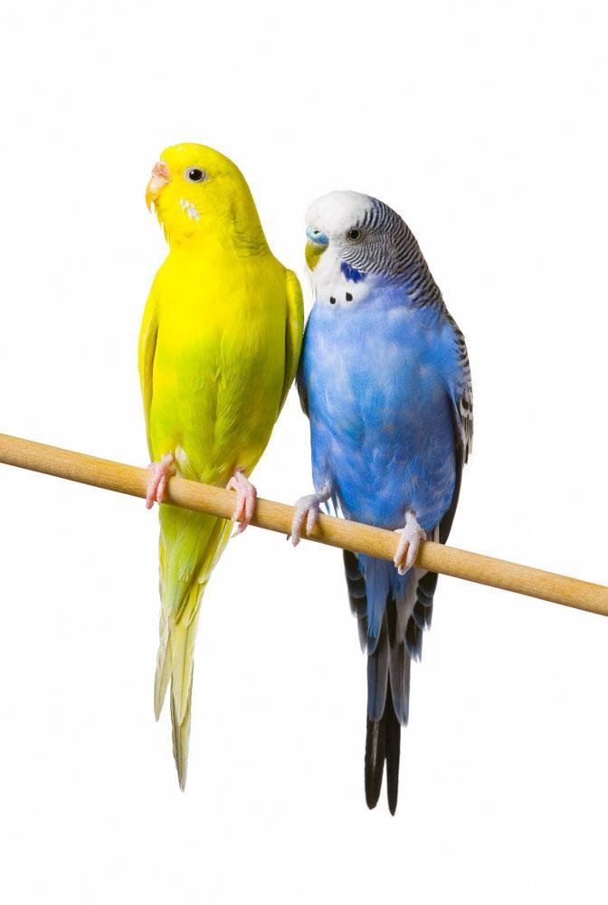 Budgerigar Perch Animal Wall Mural - Animal-Wall-Stickers - Decall.ca