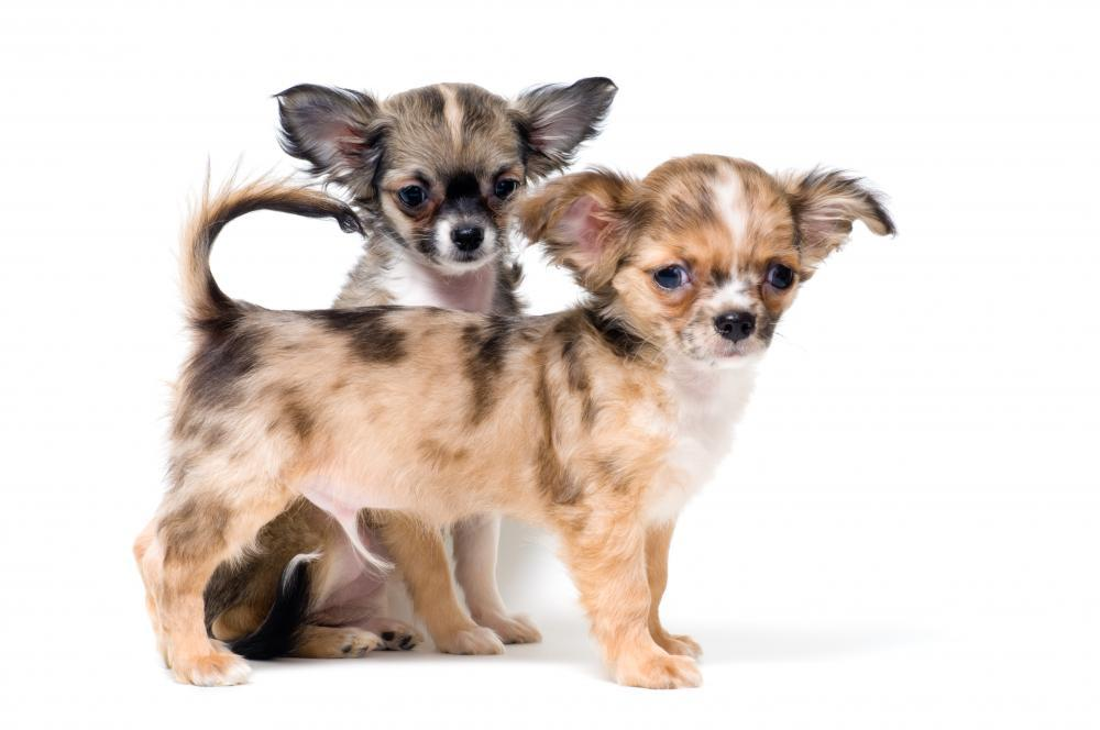 Two Puppies Chihuahua Studio Animal Wall Sticker