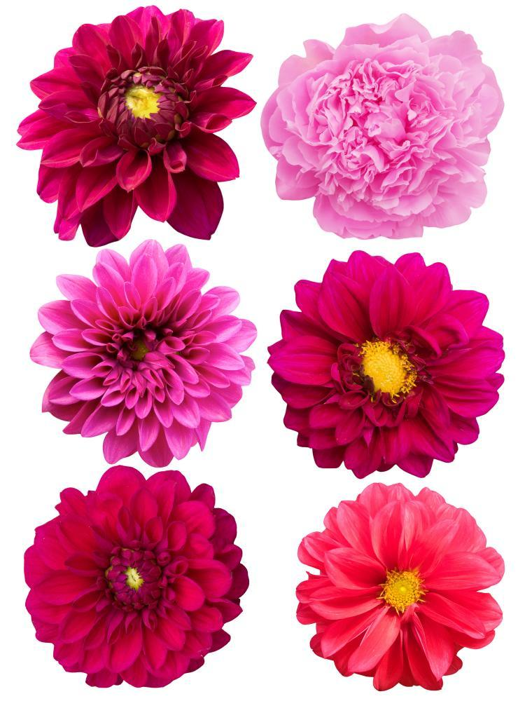 Flowers Peonies Dahlias Flower Wall Mural