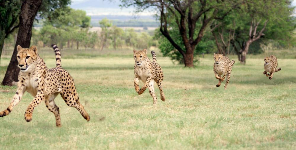 Cheetah Running Sequence Animal Wall Mural - Animal-Wall-Murals - Decall.ca