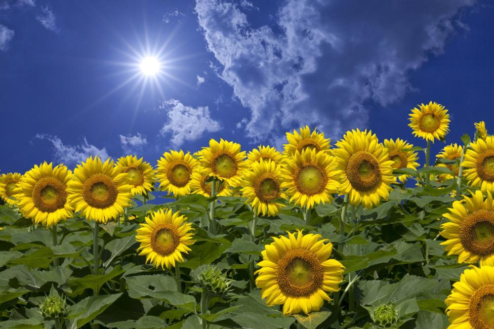 Sunflower and Clouds and Flower Wall Mural