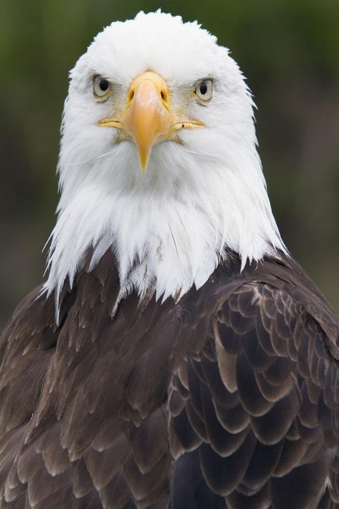 Portrait Bald Eagle Gaspesie Animal Wall Mural