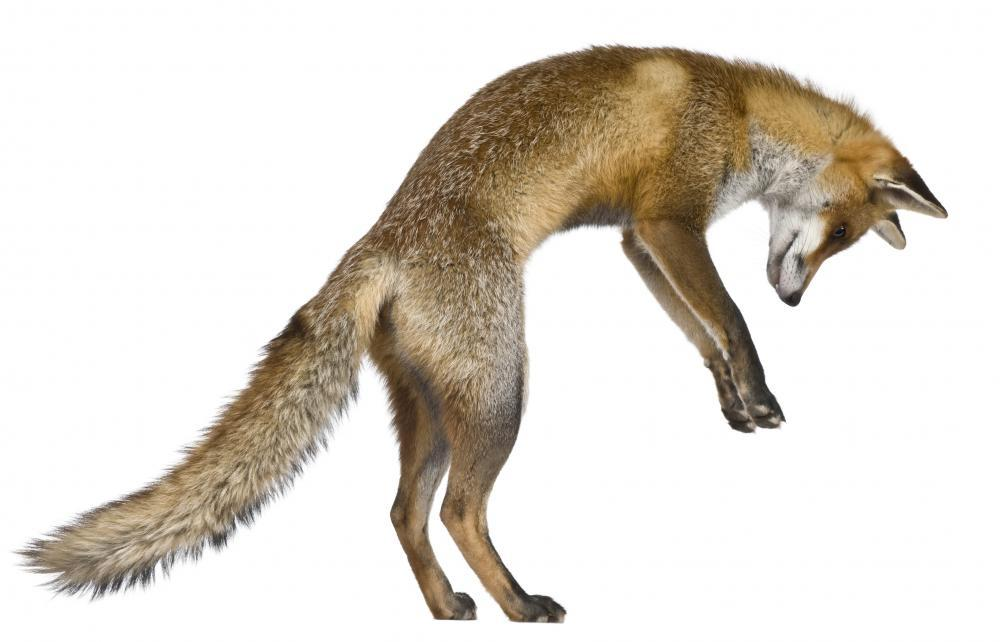 Pouncing Red Fox Animal Wall Sticker