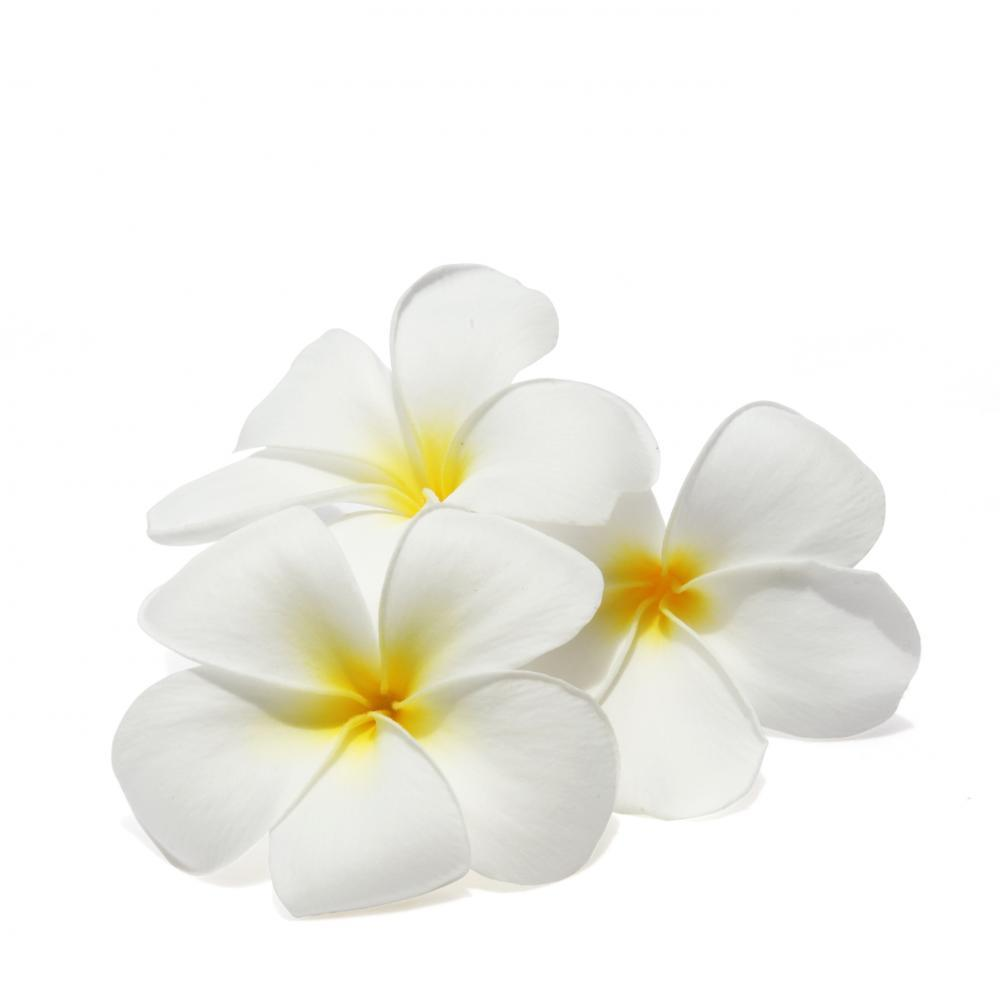 Tropical Flowers Frangipani Plumeria Flower Wall Mural Sticker