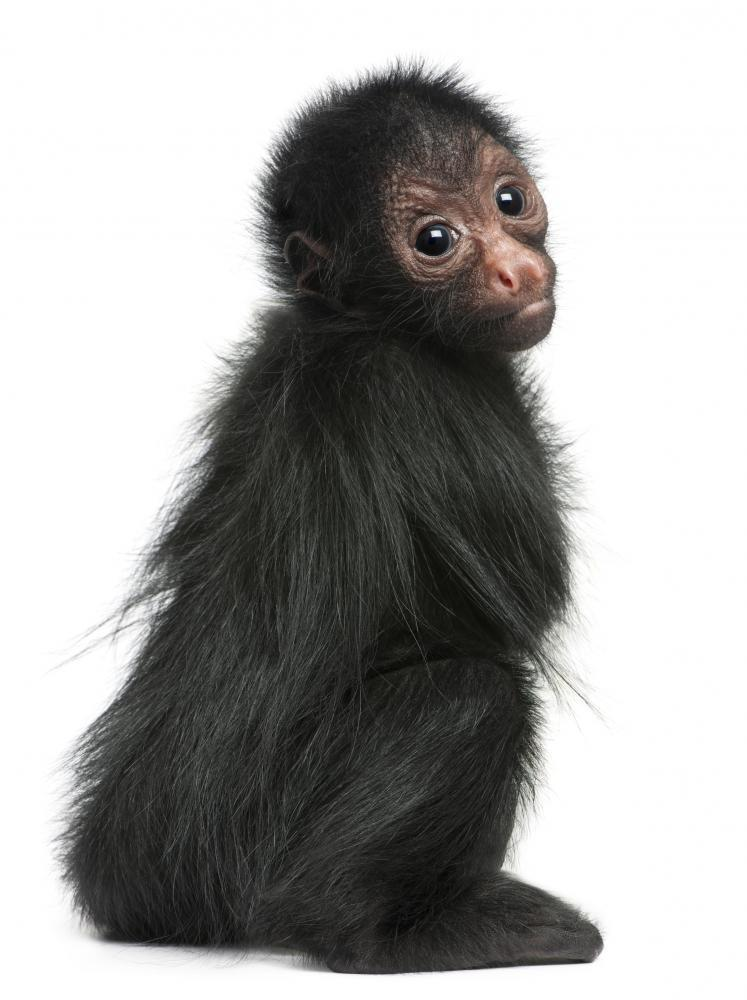 Red-faced Spider Monkey Ateles Animal Wall Sticker