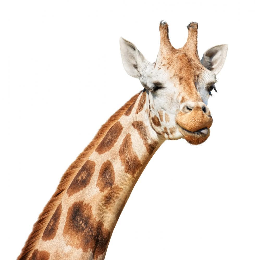 Giraffe Head Sly Winking Animal Wall Sticker