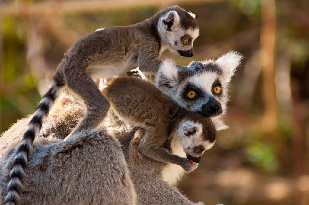 Cute Ring-tailed Lemurs Animal Wall Mural - Animal-Wall-Murals - Decall.ca