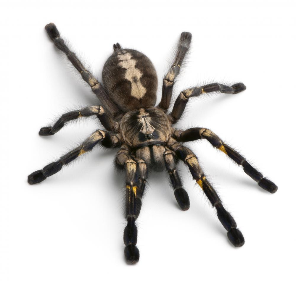 Tarantula Spider Animal Wall Sticker