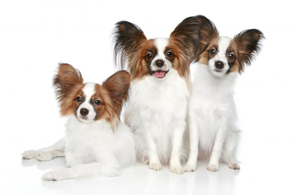 Papillon Dog Puppies Animal Wall Sticker