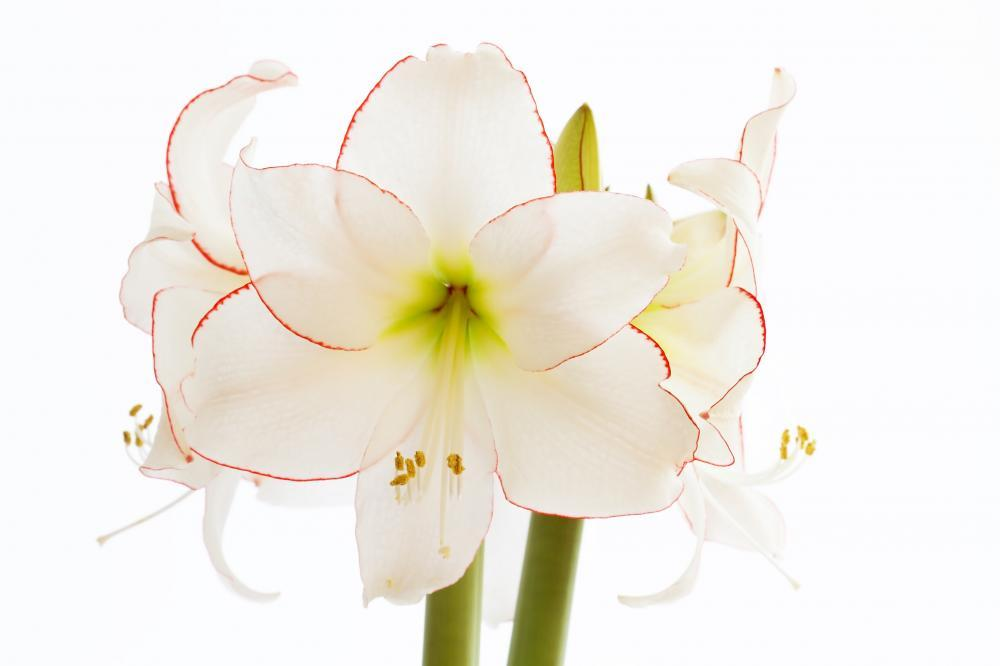 Amaryllis Close-up Flower Wall Mural Sticker - Flower-Wall-Stickers - Decall.ca