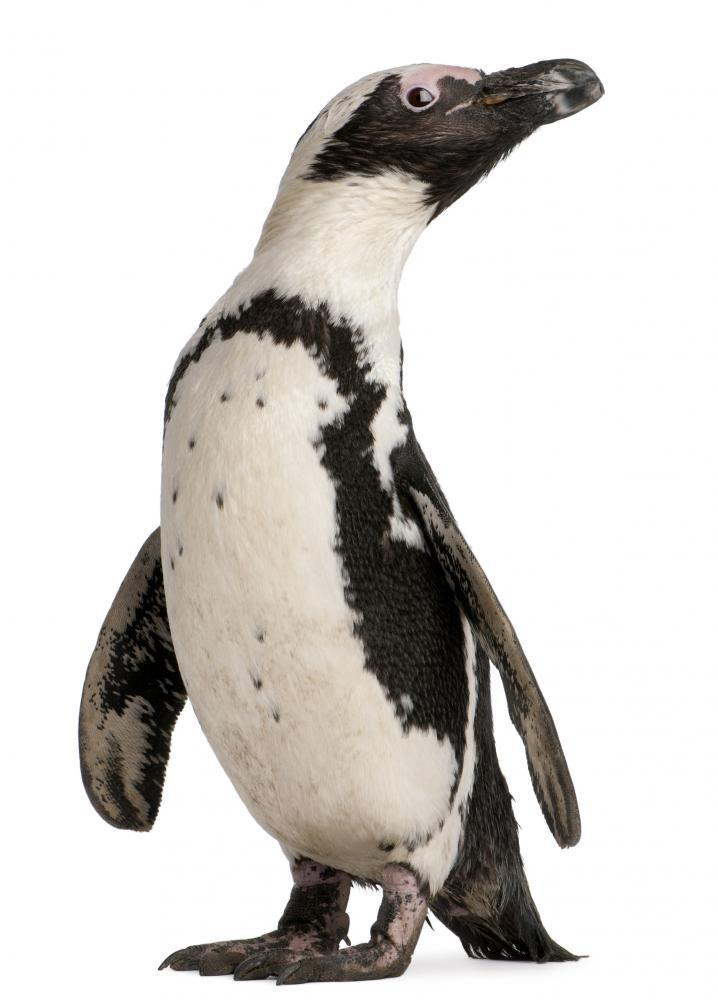 African Penguin Spheniscus Demersus Animal Wall Mural - Animal-Wall-Stickers - Decall.ca