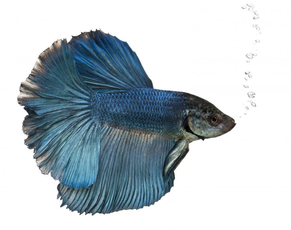 Siamese Fighting Fish Animal Wall Sticker