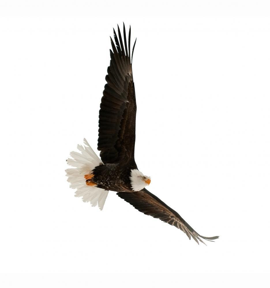 Bald Eagle Haliaeetus Leucocephalus Animal Wall Mural - Animal-Wall-Stickers - Decall.ca