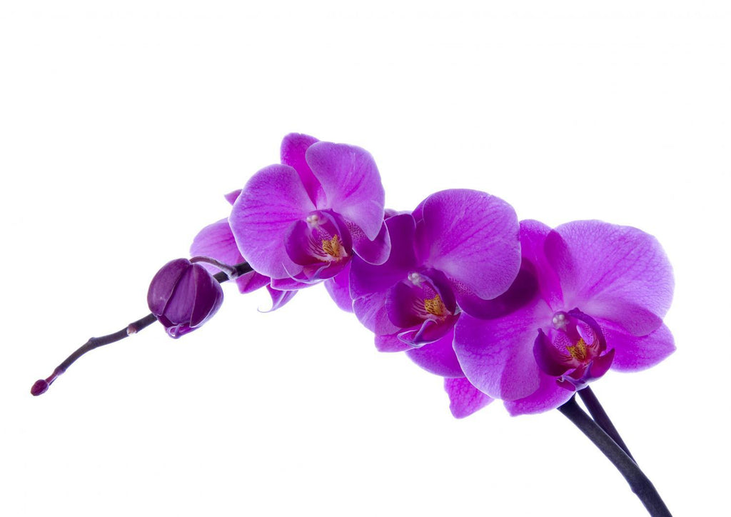 Purple Orchid Flower Wall Mural Sticker