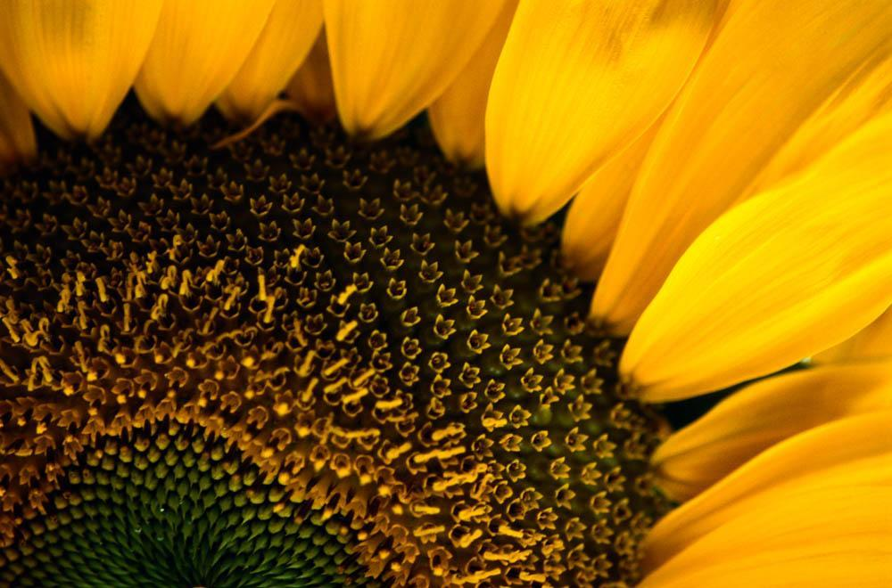 Close-up Sunflower Flower Wall Mural - Flower-Wall-Murals - Decall.ca