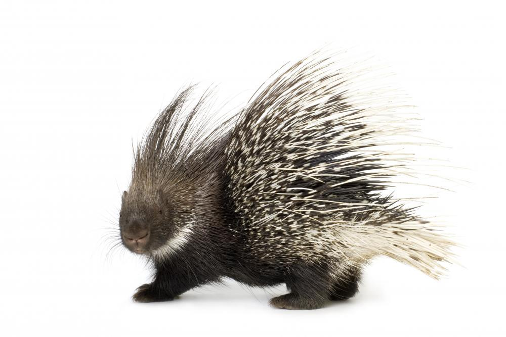 Porcupine Wall Sticker