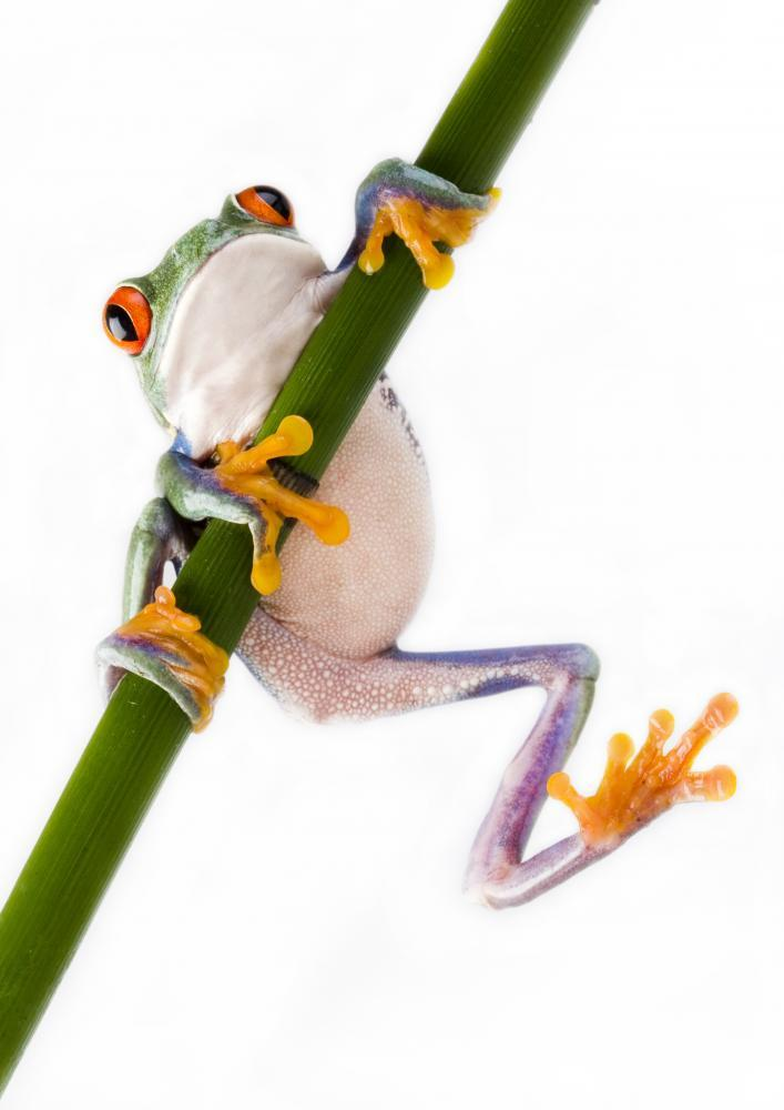 Red Eyed Tree Frog Animal Wall Sticker