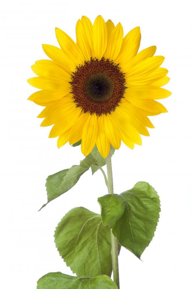 Sunflower Flower Wall Mural