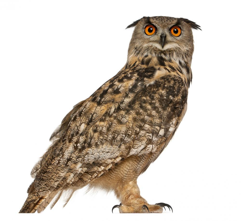 Portrait Eurasian Eagle-owl Bubo Wall Sticker