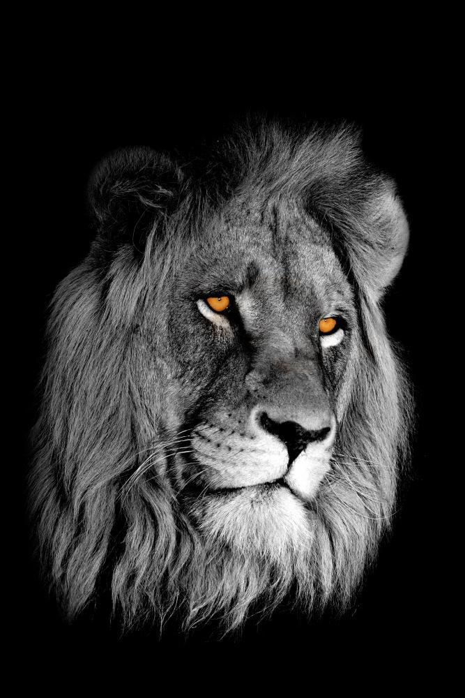African Lion Panthera Leo Animal Wall Mural - Animal-Wall-Murals - Decall.ca