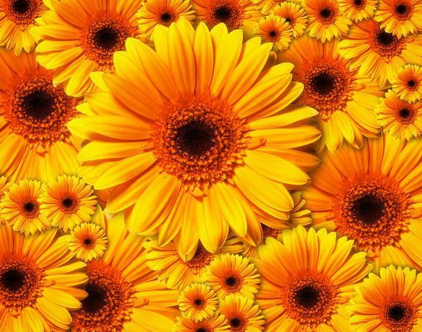 Sun Flowers Flower Wall Mural