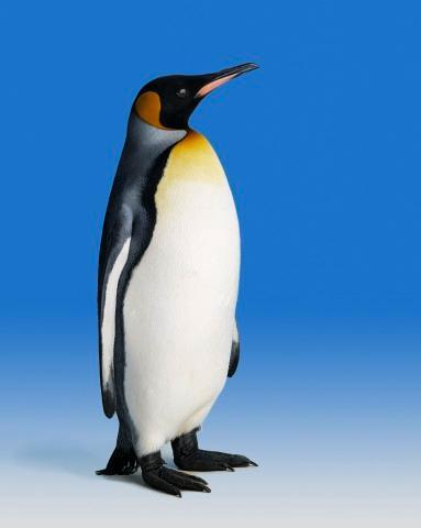 King Penguin Animal Wall Mural